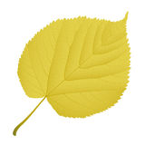 Autumn leaf linden. On a white background Royalty Free Stock Photography