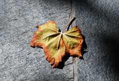 Autumn Leaf on the Line. A autumn leaf stands out against a the shadows of a grey concrete backdrop Royalty Free Stock Image