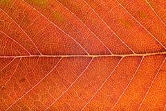 Autumn leaf macro Stock Image