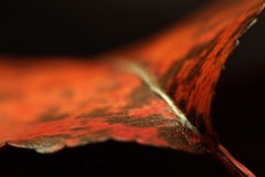 Autumn leaf macro. Macro of a leaf and its fall colors. shallow depth of field against a black background Royalty Free Stock Photography