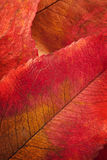 Autumn leaf macro Stock Photography