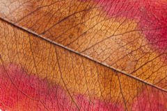 Autumn leaf macro Royalty Free Stock Image