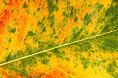 Autumn leaf macro Royalty Free Stock Photo
