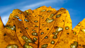 Autumn leaf macro Royalty Free Stock Image