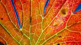 Autumn leaf macro Royalty Free Stock Images