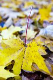 Autumn leaf of a maple. Close up stock images