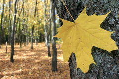 Autumn leaf of maple. Close-up Stock Photography