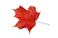 Autumn leaf of maple Stock Photography