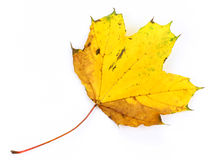 Autumn leaf .. Royalty Free Stock Images