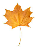 Autumn leaf maple isolated Royalty Free Stock Photo