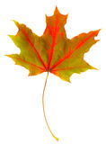 Autumn leaf maple isolated stock images