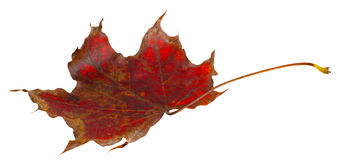 Autumn leaf maple isolated Stock Image