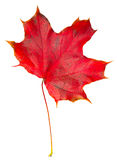 Autumn leaf maple isolated stock photography