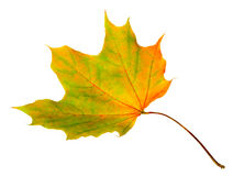 Autumn leaf maple isolated Stock Photo