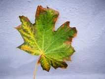 Autumn leaf. Maple leaf in its glory Royalty Free Stock Photography