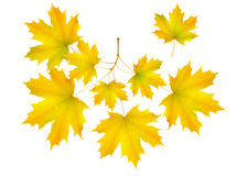 Autumn leaf maple and maple branch Stock Photo