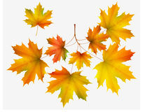 Autumn leaf maple and maple branch Royalty Free Stock Photos