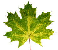 Autumn leaf  maple  on a white background isolated with clipping path.  Nature. Stock Images