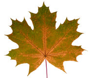 Autumn leaf maple on a white background isolated with clipping path. Nature. Closeup with no shadows. Macro. Indian summer. Green, orange. Colorful fading stock photos