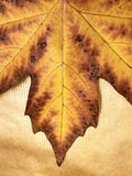 Autumn leaf maple. Yellow-brown leaf of a maple on a gold background royalty free stock image
