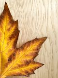 Autumn leaf maple. Yellow-brown leaf of a maple on a gold background stock images
