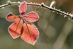Autumn leaf with morning frost royalty free stock image