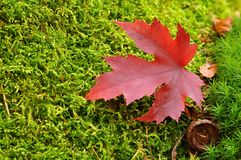 Autumn leaf on moss Royalty Free Stock Photos