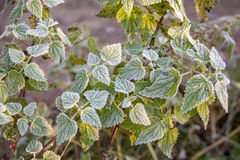 Autumn leaf nettle Royalty Free Stock Photos