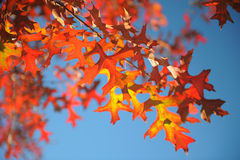 Autumn leaf. In New Zealand royalty free stock photography