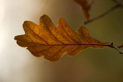 Autumn leaf of oak Stock Photos