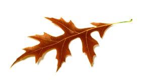 Autumn leaf of oak on white background Royalty Free Stock Image