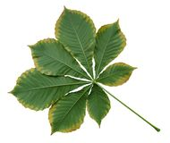 Free Autumn Leaf Of Chestnut Stock Images - 162841104