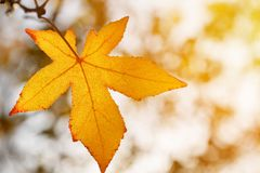 Autumn leaf, old orange maple leaves, dry foliage of trees, soft focus, autumn season, a change of nature, bright soft sunlight Royalty Free Stock Images