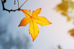 Autumn leaf, old orange maple leaves, dry foliage of trees, soft focus, autumn season, a change of nature, bright soft sunlight Royalty Free Stock Photos