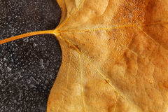 Autumn Leaf op Ijs Royalty-vrije Stock Afbeelding
