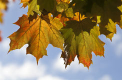 Autumn Leaf Patterns. Repetition of the leaf is found by the mutiple leaves and by the shadows of the leaves on the leaves. The autumnal colours are being Stock Photos