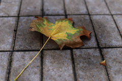 Autumn leaf on the pavement Royalty Free Stock Images