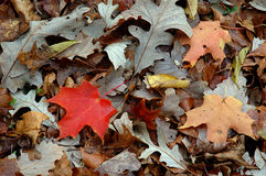 Autumn Leaf Pile. Maple leaf in autumn leaf pile stock photo