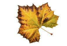 Autumn leaf from plain tree Royalty Free Stock Photos