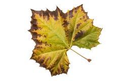 Autumn leaf of plain tree on white Stock Photography