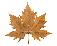 Autumn leaf of plane tree Stock Images