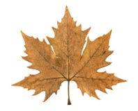 Autumn leaf of plane tree Stock Images