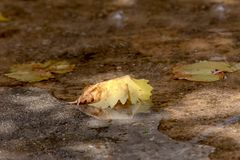 The autumn leaf in a puddle Stock Photo