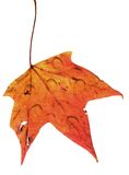 Autumn leaf with rain. Bright fall leaf with water droplets on top royalty free stock photography