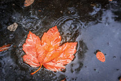 Autumn Leaf in Rain. Autumn scenic background whit red leaf in the rain Royalty Free Stock Photos