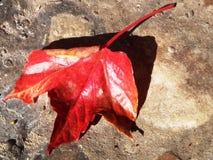 Autumn leaf. Red colored foliage leaf of Virginia creeper Stock Image