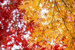 Autumn Leaf. With red and yellow color Royalty Free Stock Image