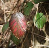 Autumn leaf remaining in spring royalty free stock photography