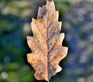 Autumn leaf and rime Royalty Free Stock Photography