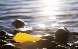 An Autumn Leaf On Rocks In Water Royalty Free Stock Photo